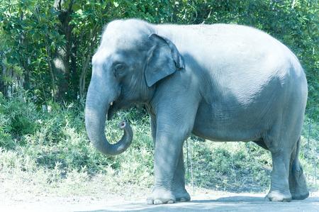 mammalian: Indian elephant