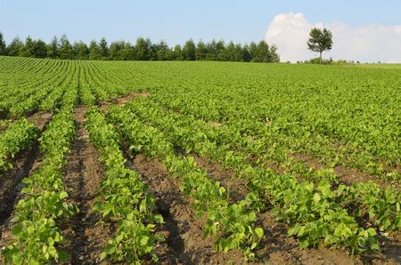 adzuki: Adzuki bean field