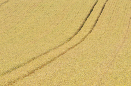 grandeur: Wheat fields