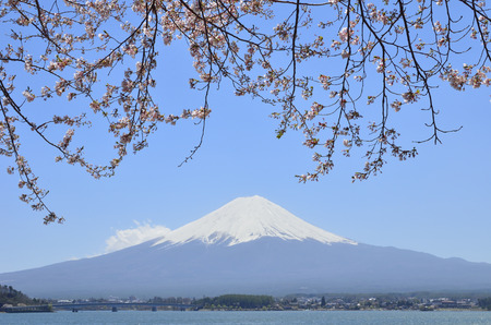 magnificence: Cherry blossoms and Mt Fuji