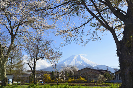 grandeur: Cherry blossoms and Mt Fuji