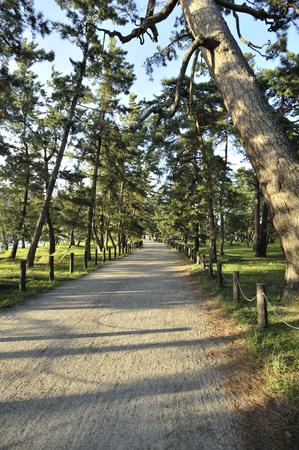 pine trees: Amanohashidate pine trees Stock Photo