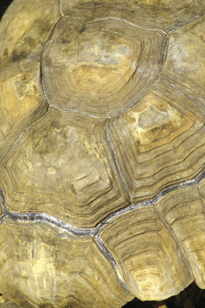 Carapace of the turtle 版權商用圖片