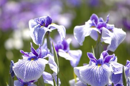 iris fiore: Iris flower Archivio Fotografico