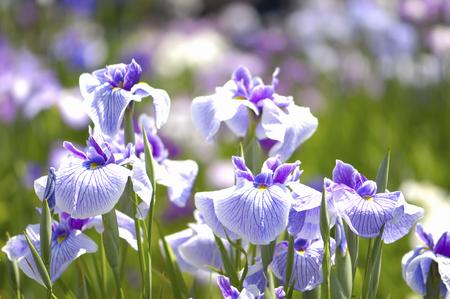 Iris fleur  Banque d'images