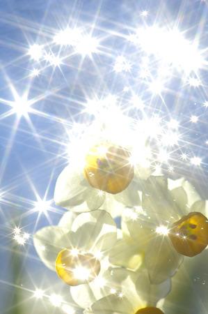 scintillation: Narcissus Stock Photo