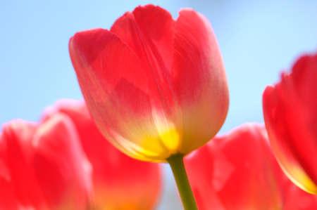 crimson colour: Red Tulip