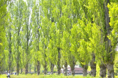 Poplar tree Archivio Fotografico