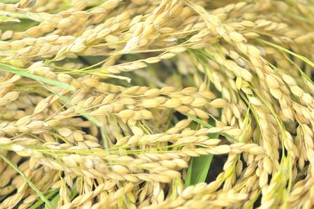 rice harvest: Inaho Stock Photo