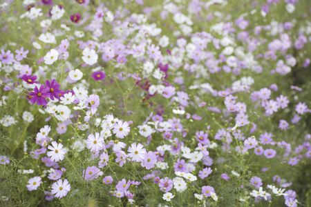 full bloom: Cosmos field in full bloom