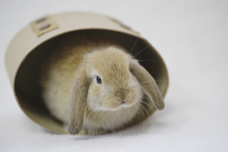 mammalian: Rabbit put in an appearance from inside the box
