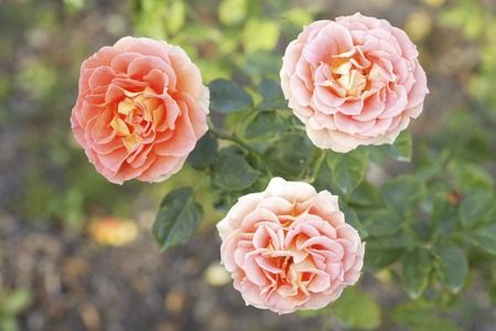 material flower: Apricot-colored roses