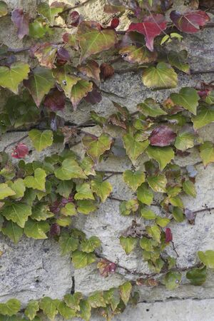 ivy wall: The Ivy entwined on the wall
