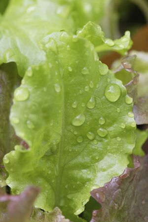 kitchen garden: Kitchen garden lettuce