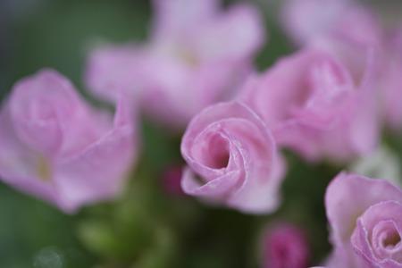 primula: Pink Primula flowers