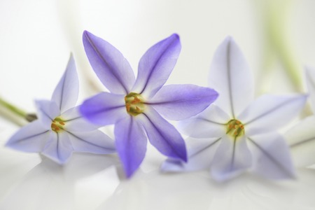 Purple spring flowers hanania Stock Photo