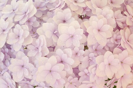 pale color: Close-up the pale color of hydrangea