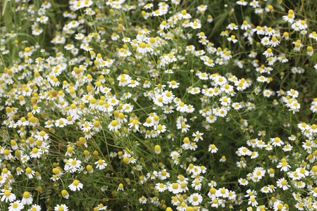 asian gardening: Bloom blooming camomile Stock Photo