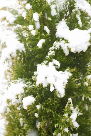snowscape: Gold crest of snow in the garden
