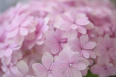 hydrangea flower: Pink hydrangea flower