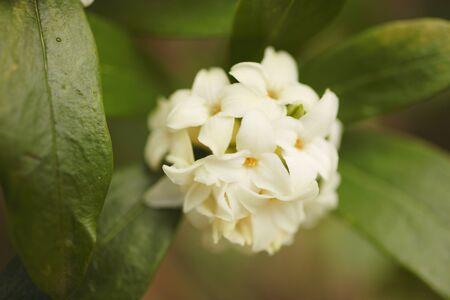 dafne: Daphne bianco fiore nel giardino Archivio Fotografico