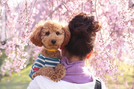 花公園に桜の木に女を抱擁はプードル