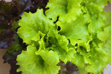 sureness: Of home garden lettuce Stock Photo