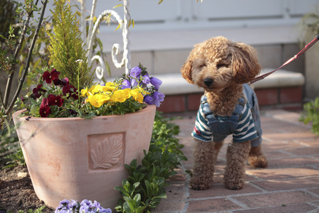 article of clothing: Toy poodle clothes to walk in your garden Stock Photo
