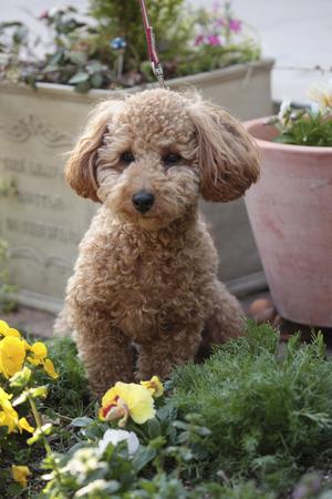 Caniche Toy a caminar en el jardín