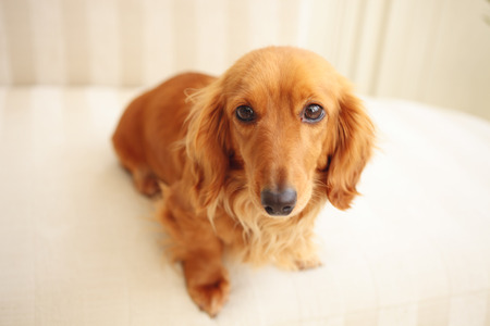 kanapa: Miniature Dachshund sitting on the couch