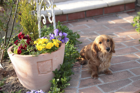 stroll: Miniature Dachshund to stroll the garden Stock Photo
