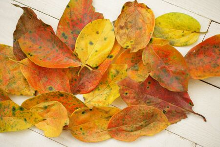 oyster plant: Fallen leaves