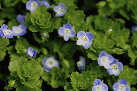 veronica flower: Veronica persica