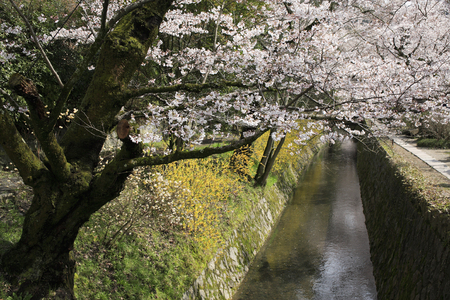 hydrophobic: Road of cherry blossoms bloom philosophy Stock Photo