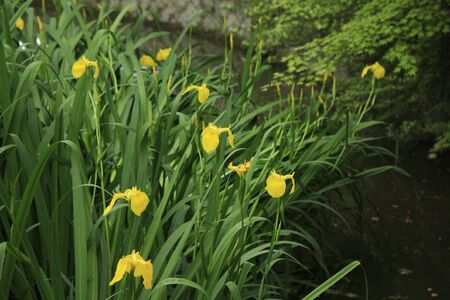 precinct: Yellow iris