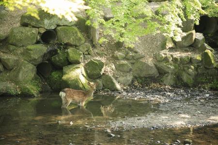 animal only: Riverside of deer Stock Photo