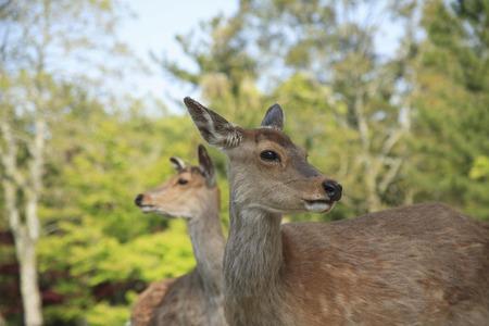 todaiji: Deer of Todaiji temple