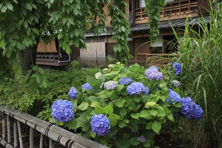 shirakawa: Hydrangea blooms Gion Shirakawa