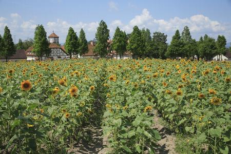 blume: Sunflower field