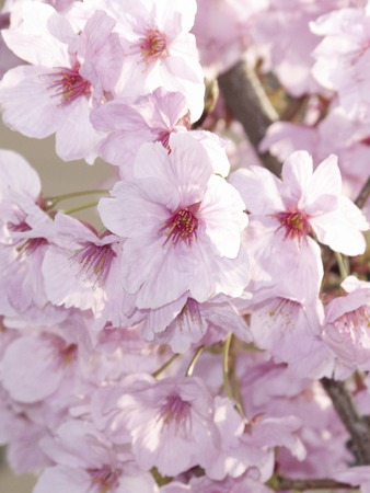full      bloom: Full bloom of cherry blossoms Stock Photo