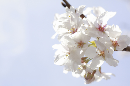 Up of cherry blossoms photo