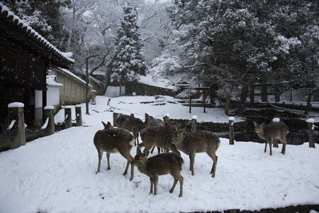 animal only: Deer Todaiji March Domae