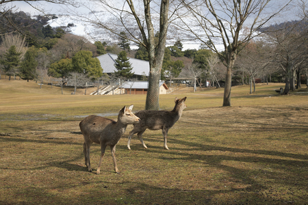 animal only: Deer Todaiji floating cloud orchards