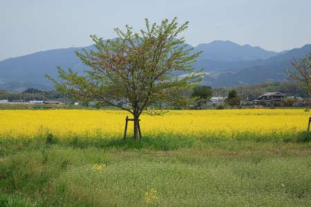 藤原 Kyoato の菜の花畑
