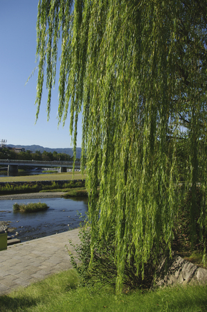 weeping willow: Weeping willow