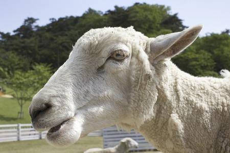 mastication: Up of sheep face