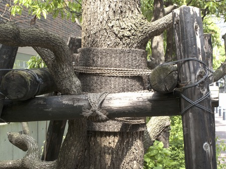 splint: Splint of street trees