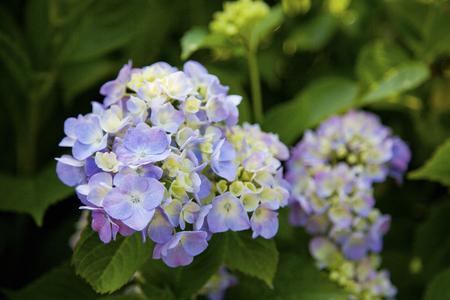 rin: Hydrangea flowers
