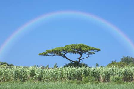 ryukyu: Rainbow and sugar cane fields and the Ryukyu pine