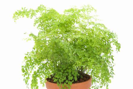 green plants: Ornamental plants and adiantum